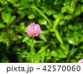 花 赤詰草 クローバーの写真 42570060