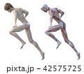 筋肉 解剖 女性のイラスト 42575725