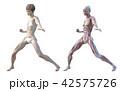 筋肉 解剖 女性のイラスト 42575726