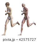 筋肉 解剖 女性のイラスト 42575727