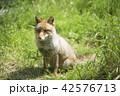 狐 哺乳類 イヌ科の写真 42576713