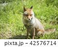 狐 哺乳類 イヌ科の写真 42576714