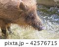 猪 42576715