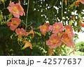 ノウゼンカズラ 花 クローズアップの写真 42577637