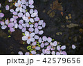 水面の桜 42579656