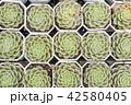 さぼてん サボテン 仙人掌の写真 42580405