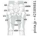 腰椎から膝蓋骨まで ボディグレー(名称入り) 42589881