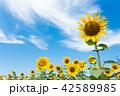 ひまわり ひまわり畑 風景の写真 42589985
