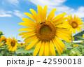 ひまわり畑 夏 花の写真 42590018