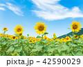 ひまわり ひまわり畑 風景の写真 42590029
