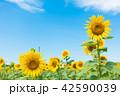 青空 ひまわり畑 夏の写真 42590039