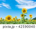 ひまわり ひまわり畑 風景の写真 42590040