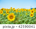 青空 ひまわり畑 夏の写真 42590041