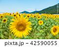 青空 ひまわり畑 夏の写真 42590055
