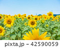 ひまわり ひまわり畑 風景の写真 42590059