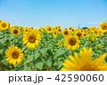ひまわり ひまわり畑 風景の写真 42590060