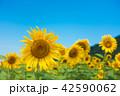 青空 ひまわり畑 夏の写真 42590062