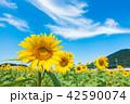 ひまわり ひまわり畑 風景の写真 42590074