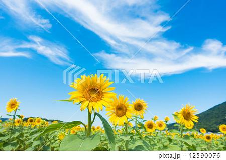 ひまわり 青空 雲 42590076