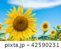 ひまわり ひまわり畑 風景の写真 42590231