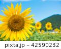 青空 ひまわり畑 夏の写真 42590232