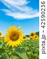 ひまわり ひまわり畑 風景の写真 42590236