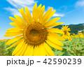 ひまわり ひまわり畑 花の写真 42590239