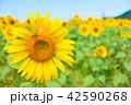 ひまわり畑 夏 花の写真 42590268
