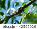 セミ クマゼミ 昆虫の写真 42592026