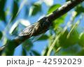 セミ クマゼミ 昆虫の写真 42592029