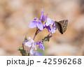 ミヤマセセリ 42596268