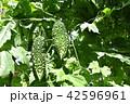 ゴーヤ ツルレイシ 野菜の写真 42596961