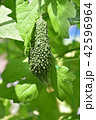 ゴーヤ 野菜 夏野菜の写真 42596964