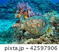 カメ アオウミガメ 水中の写真 42597906