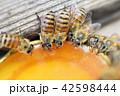 昆虫 ハチ ミツバチの写真 42598444