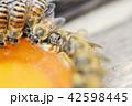 昆虫 ハチ ミツバチの写真 42598445