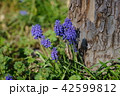 ムスカリ グレープヒヤシンス 花の写真 42599812