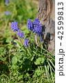 ムスカリ グレープヒヤシンス 花の写真 42599813