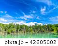 青い池 美瑛 晴れの写真 42605002