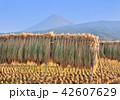 富士山 稲穂 稲の写真 42607629
