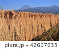 富士山 稲穂 稲の写真 42607633