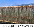 富士山 稲穂 稲の写真 42608513