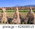 風景 富士山 稲の写真 42608515