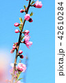 花 春 桃の写真 42610284