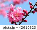 花 春 桃の写真 42610323