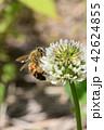 ミツバチとクローバーの花 シロツメクサの花とミツバチ 42624855