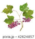 水彩画 フルーツ ブドウのイラスト 42624857