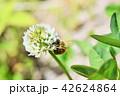 ミツバチとクローバーの花 シロツメクサの花とミツバチ 42624864