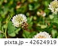 ミツバチとクローバーの花 シロツメクサの花とミツバチ 42624919