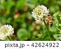 ミツバチとクローバーの花 シロツメクサの花とミツバチ 42624922